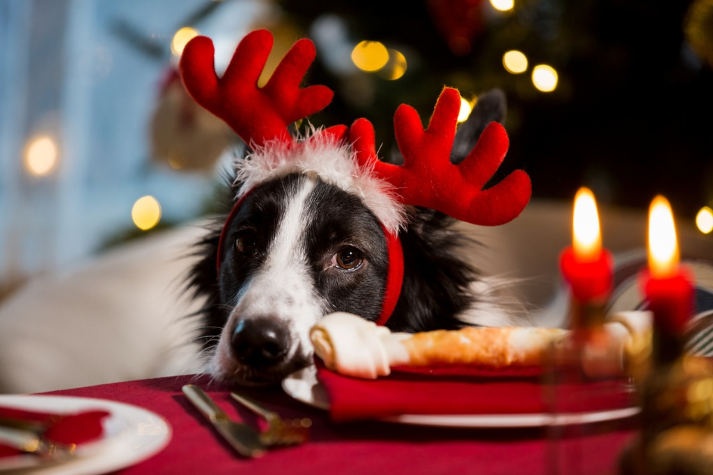 Pets and Christmas I Dog behind the table