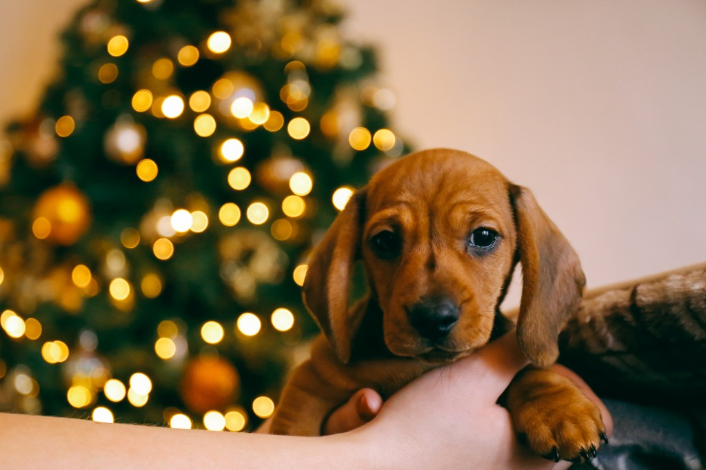 Puppy in the hands of its owner in front of a christmas tree