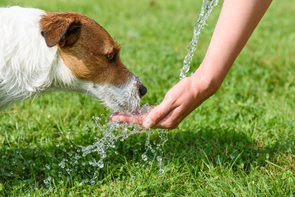 Dog drinking water from a womans hand on a hot summer day